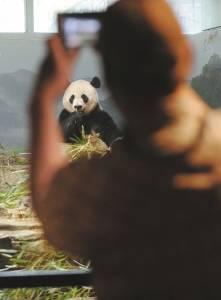 旅美大熊猫