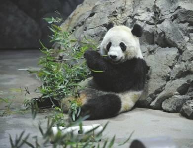 大熊猫在美国