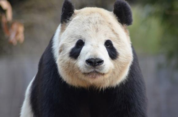 """大熊猫""""添添"""""""