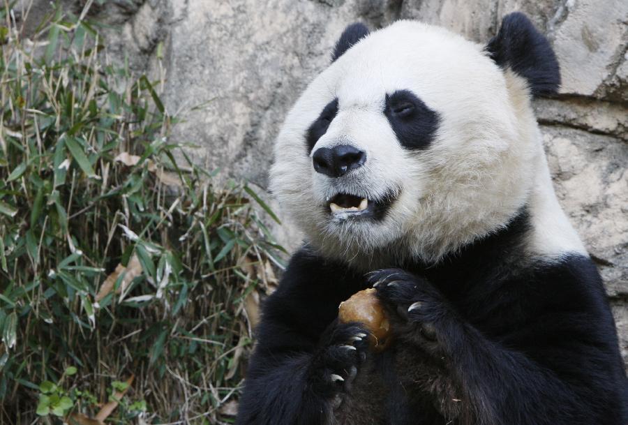 """大熊猫""""美香"""""""