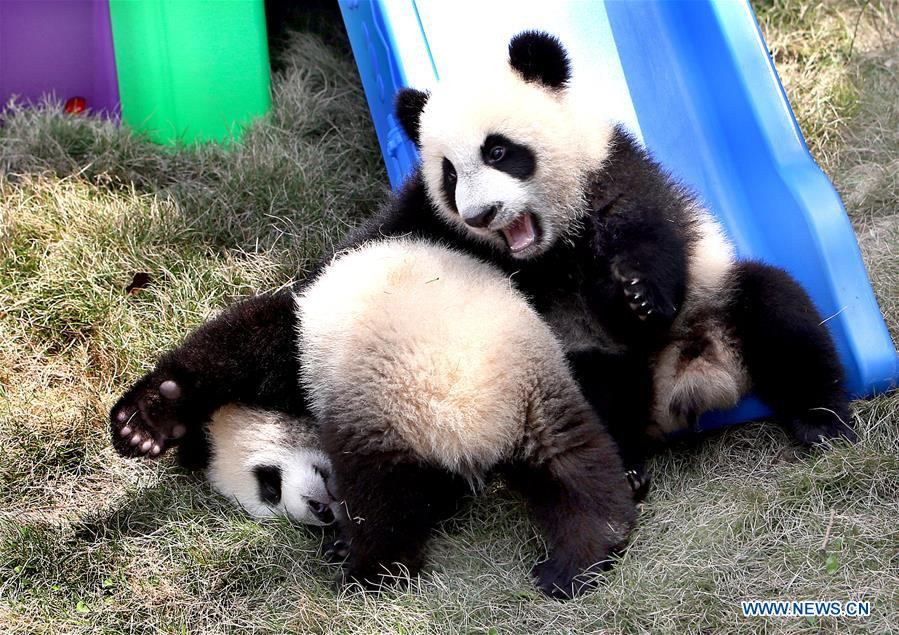 """The pigeon pair panda cubs play at the Shanghai base of the Chinese Giant Panda Protection and Research Center in Shanghai, east China, April 22, 2017. The pigeon pair giant panda cubs born in Shanghai were named """"Ban Ban"""" and """"Yue Yue"""" on Saturday. (Xinhua/Fan Jun)"""