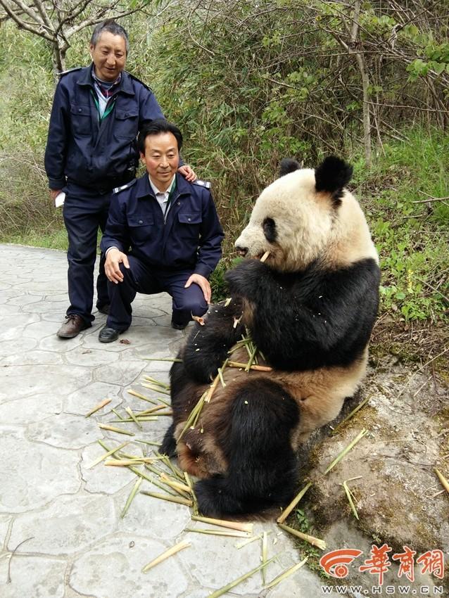 野生大熊猫悠闲吃竹