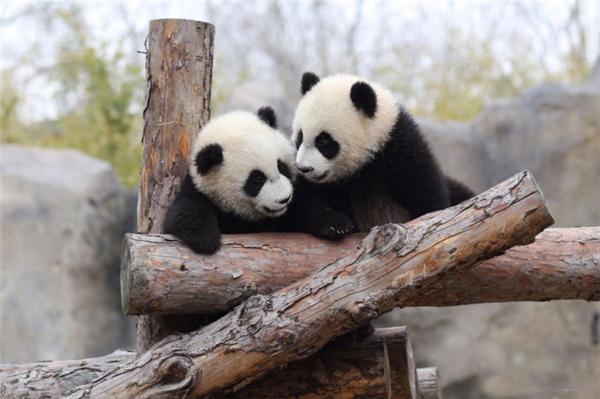 Панды получили имена