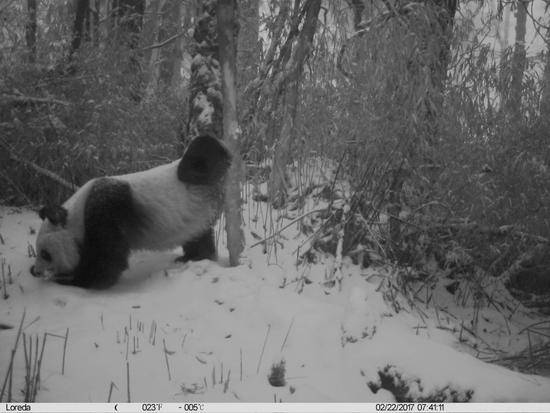在四川卧龙国家级自然保护区内,一只大熊猫用臀部磨蹭树干,将尿液标记留在树干上(2月22日摄)。