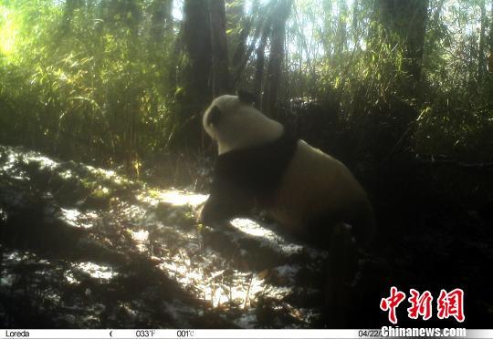 红外照相机采集的大熊猫影像(钟欣 摄)