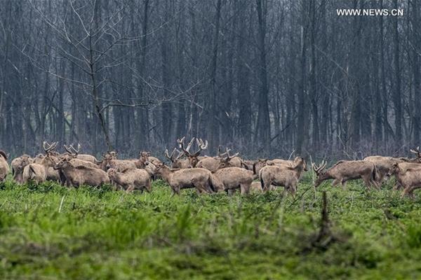 رصد عدد كبير من غزلان ميلو البرية في هونان