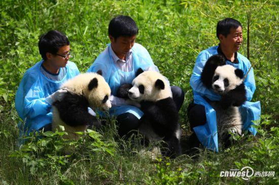 2014年4月30日,陕西省珍稀野生动物抢救饲养研究中心的熊猫饲养员带着大熊猫三姐妹与游客见面。(资料图)