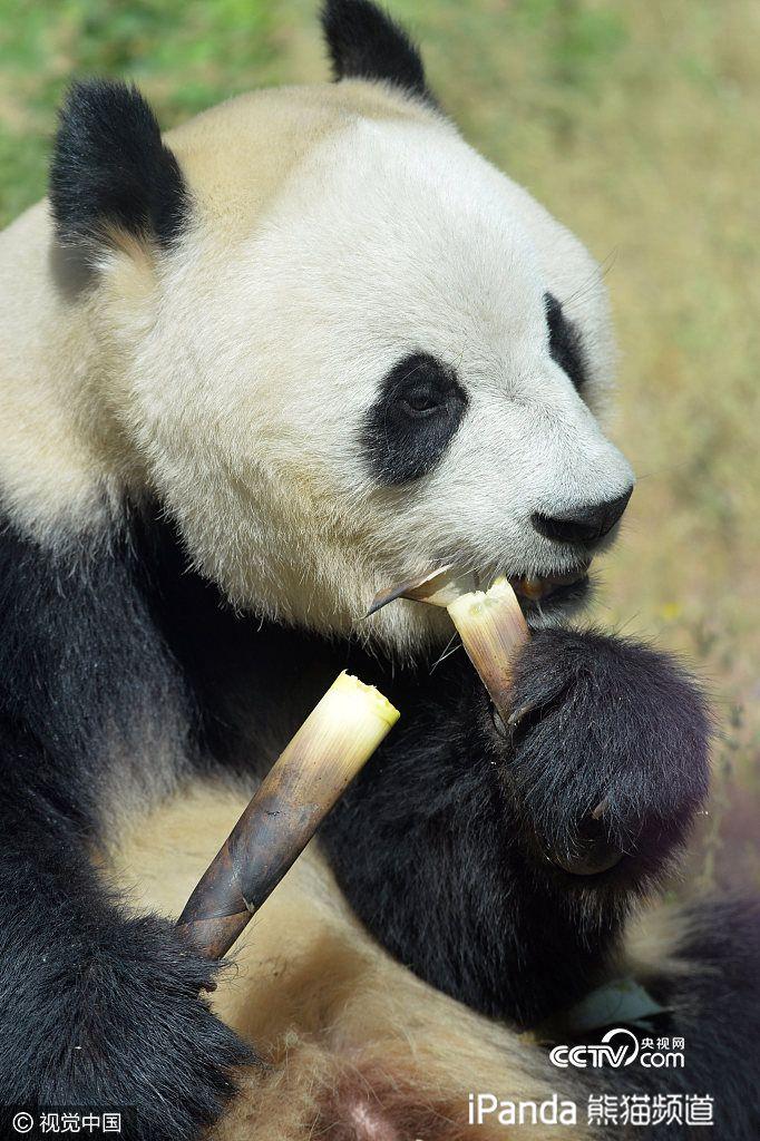 北京动物园大熊猫吃相萌化游客心