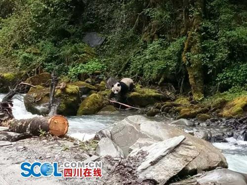 熊猫老家宝兴再现野生大熊猫。