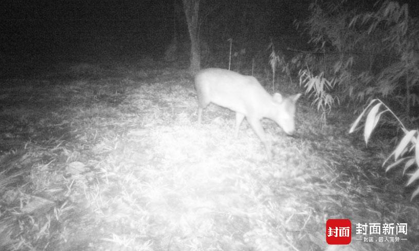 都江堰红外监测到毛冠鹿。(都江堰市农林局供图)