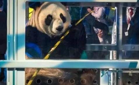 """大熊猫""""武雯""""和""""星雅""""计划将于5月30日周二正式与荷兰公众见面。"""