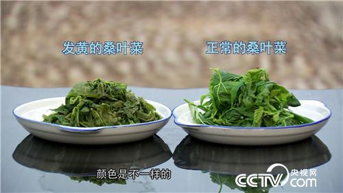 致富经:桑叶不养蚕 年卖800万(20170518)