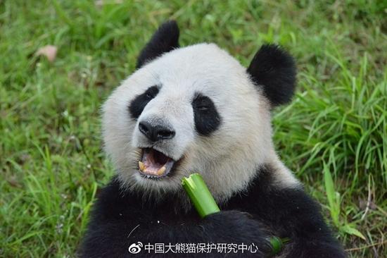 """中心每天给""""蜀兰""""提供可选择的竹子及足量竹笋"""