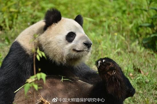 """大熊猫""""蜀兰""""的营养状况中等偏上"""