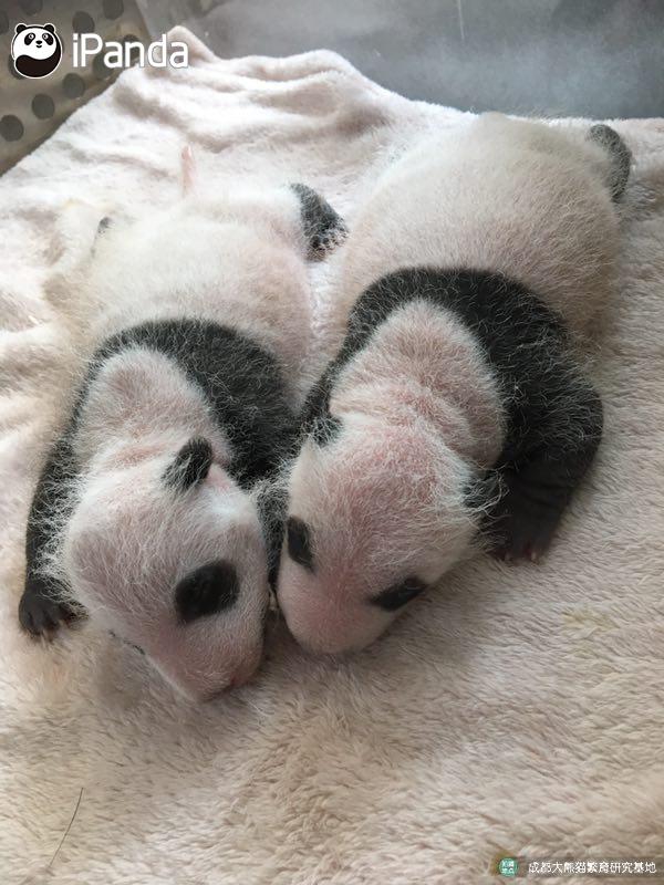 2017年全球首对圈养大熊猫双胞胎顺利诞生