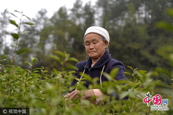 مسنة سبعينية مهنتها قطف أوراق الشاي
