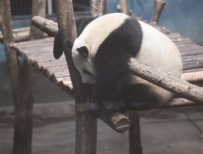 南京红山森林动物园大熊猫兄弟月底回川