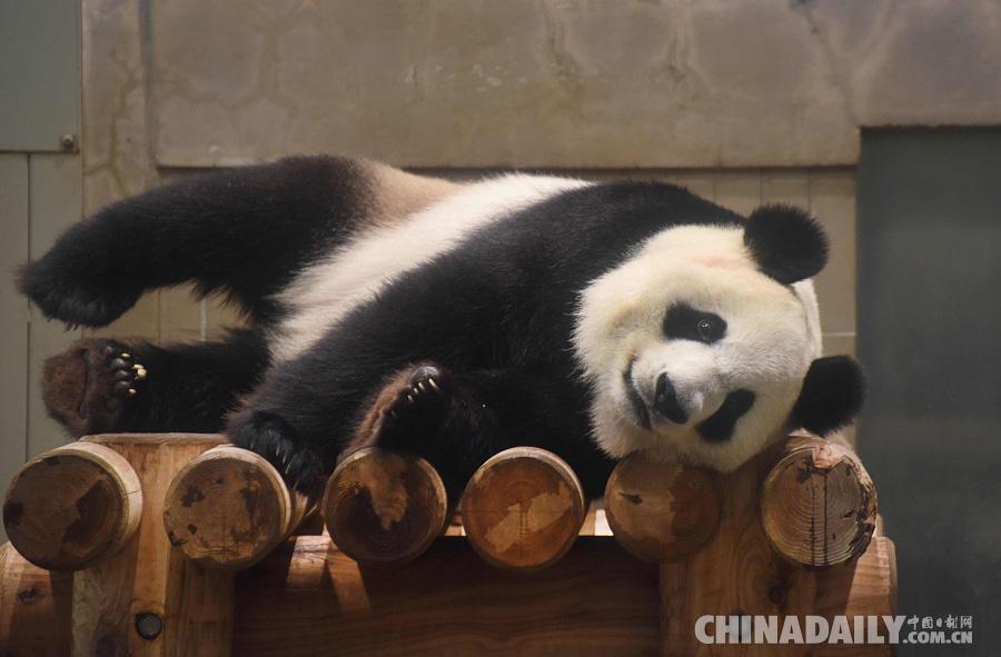 日本东京上野动物园,雌性大熊猫真真怀孕迹象明显,自25日起将暂停展出。