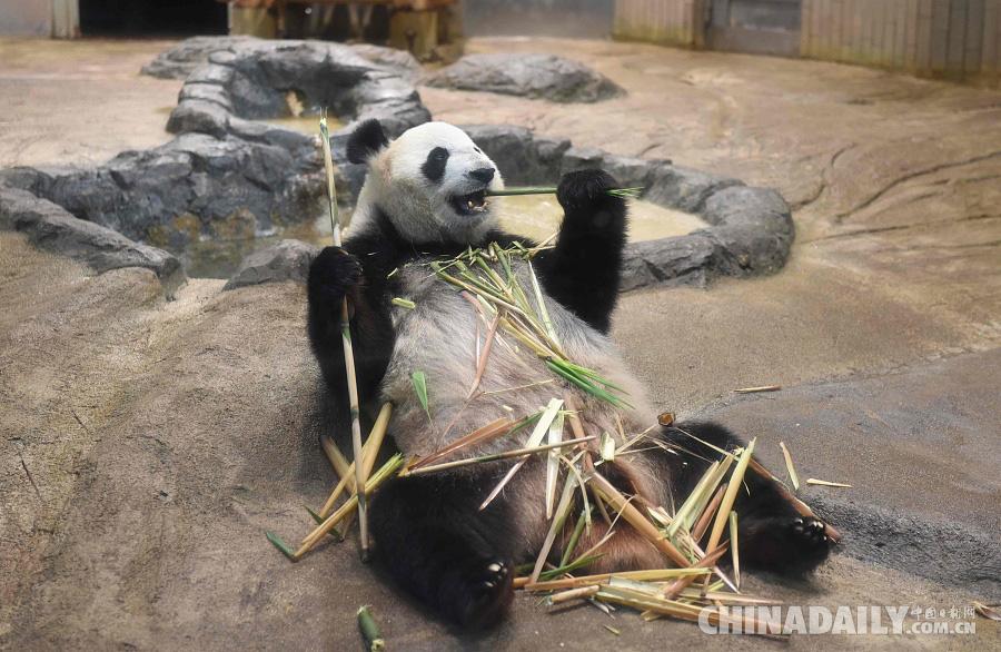 若怀孕,5月底到6月初,上野动物园将时隔5年再度迎来熊猫宝宝的诞生。