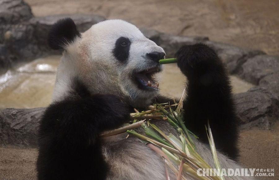 日本东京上野动物园,雌性大熊猫真真怀孕迹象明显。