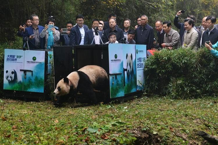 """大熊猫""""华妍""""离开运输笼向野外走去"""