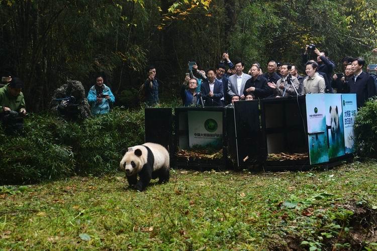 """大熊猫""""张梦""""离开笼舍,向野外走去"""