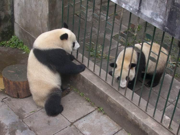 熊猫情侣在发情季节隔着栏杆培养感情