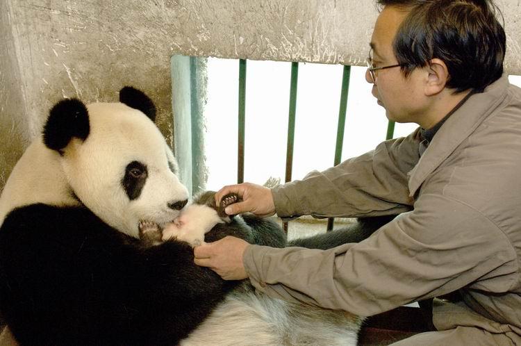 奶爸培训熊猫妈妈带仔