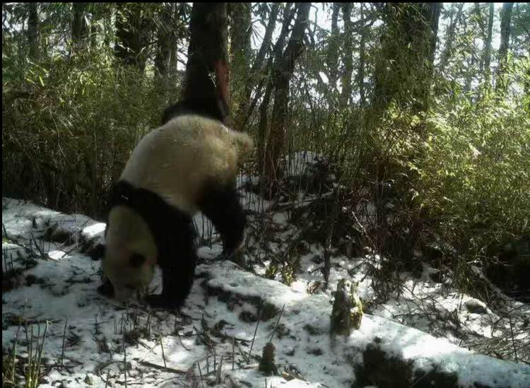 卧龙国家级自然保护区木江坪保护站红外摄像机拍摄到的大熊猫在树上做标记求偶