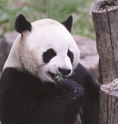 大熊猫吃上竹笋苹果粽。 范晓林 摄