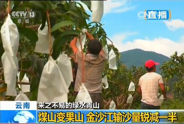 当地农民靠种植芒果发家致富