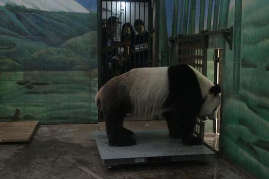 大熊猫称重