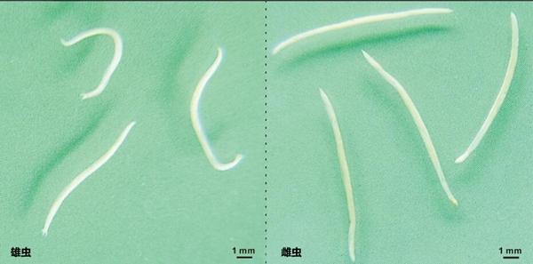 肉眼观察到的大熊猫钩口线虫(谢跃供图)
