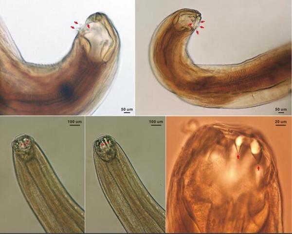 在显微镜下观察到的大熊猫钩口线虫及其口齿形态(谢跃供图)