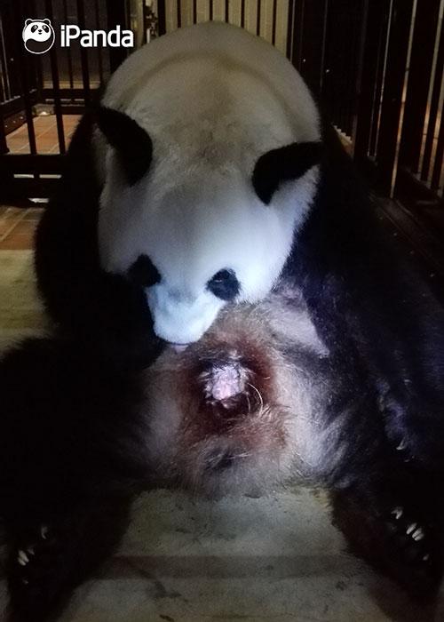 """中国大熊猫保护研究中心大熊猫""""仙女""""在日本当地时间11点52分在日本东京动物园产下熊猫宝宝"""