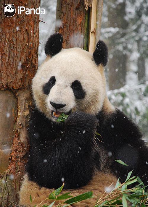 """中国大熊猫保护研究中心大熊猫""""仙女""""在保护研究中心雅安碧峰峡基地"""