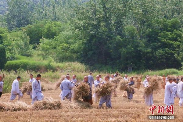 رهبان شاولين يحصدون القمح