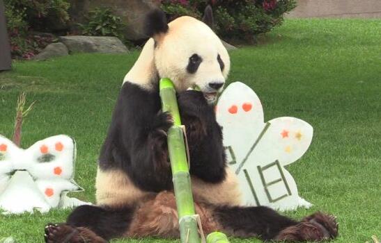 """对于这头如今已经24岁的高龄大熊猫,日本网友也是喜爱有加,甚至将其称为""""熊猫界的最强雄性""""。"""