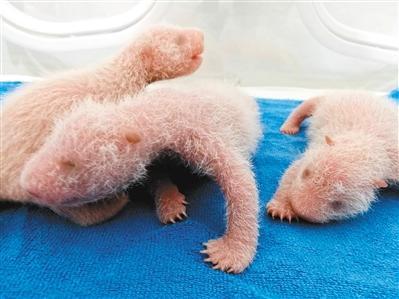 保温箱里三只可爱的熊猫幼仔(记者谢伟 通讯员赵鹏鹏 潘广林 摄)