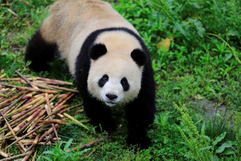 中国野生动物保护协会与德国柏林动物园签署了中德大熊猫保护研究合作