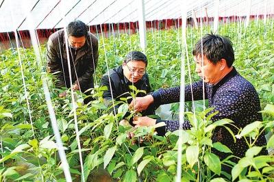 宋伟(中)到蔬菜大棚了解贫困户种植情况 记者邓放摄