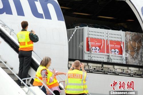 两只大熊猫正在从乘坐的货运专机上(彭大伟 图)