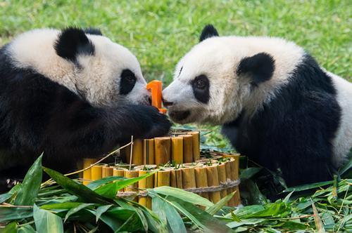 """6月25日,澳门大熊猫双胞胎兄弟""""健健""""""""康康""""在生日仪式上吃特制的竹子蛋糕。(新华社记者 张金加 摄)"""