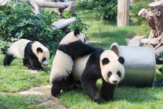 """6月25日,熊猫妈妈""""心心""""和两兄弟在一起玩耍。(新华社记者 张金加 摄)"""