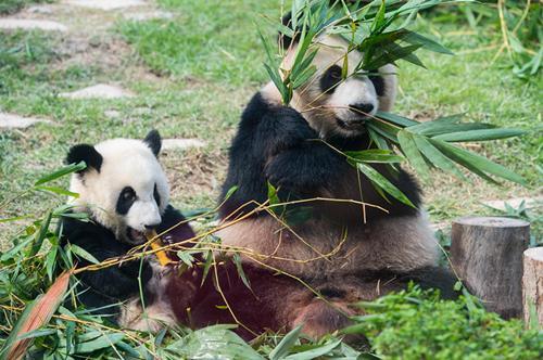 """6月25日,熊猫妈妈""""心心""""和自己其中一个儿子一起吃竹子。(新华社记者 张金加 摄)"""