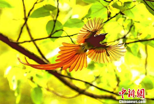 "Recently, members of the Birdwatching Association of Qianjiang City, Hubei province, researched the city's treasured birds. They observed that 96 blue-throated bee-eaters, which are called ""China's most beautiful bird,"" were living in the city."