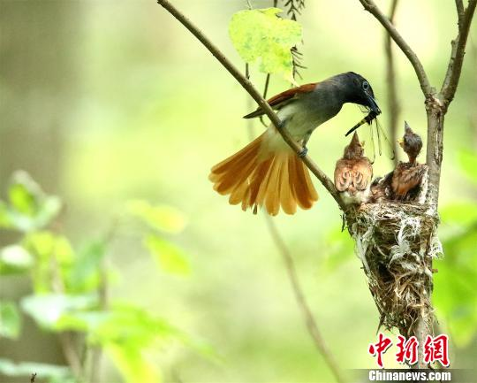 Six Asian paradise-flycatchers were also seen feeding and playing. These birds were rarely seen in Qianjiang before, and the results showed that environmental conditions have been greatly improved in the city.