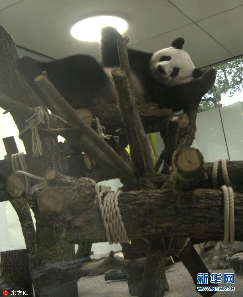 """旅德大熊猫""""梦梦""""和""""娇庆""""开始慢慢在自己的新家""""熊猫别墅""""中探索"""