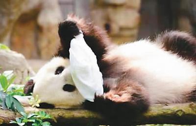 大熊猫乐乐被一块带有柠檬味的毛巾逗的前翻后仰