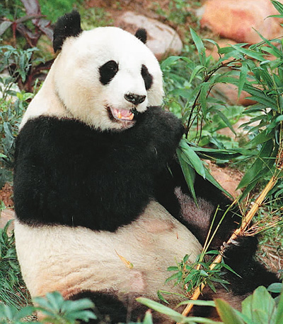 """大熊猫""""安安""""在香港海洋公园大熊猫园里吃竹子"""